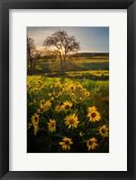Framed Arrowleaf Balsamroot Wildflowers At Columbia Hills State Park
