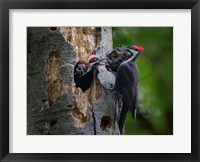 Framed Pileated Woodpecker Aside Nest With Two Begging Chicks