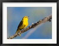 Framed Yellow Warbler Sings From A Perch