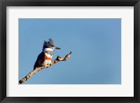 Framed Belted Kingfisher On A Perch