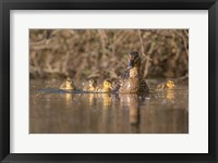 Framed Mallard Hen With Ducklings On The Shore Of Lake Washington