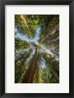 Framed Tall Conifers At The  Grove Of The Patriarchs, Mt Rainier National Park