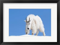 Framed Close-Up Of A Mountain Goat