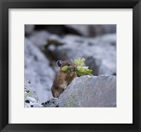 Framed American Pika Collecting Leaves