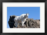 Framed Mountain Goat Climbing Rocks