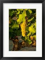 Framed Viognier Grapes In A Vineyard
