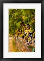 Framed Cabernet Franc Block In A Vineyard