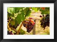 Framed Merlot Grapes In A Vineyard