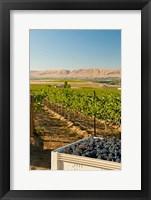 Framed Bin Of Cabernet Sauvignon Grapes At Harvest