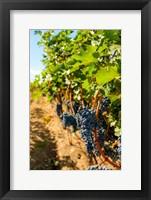 Framed Vineyard Grapes Near Harvest