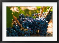 Framed Petit Verdot Grapes From A Vineyard