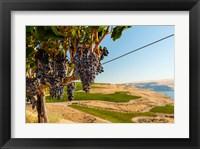 Framed Merlot Grapes Hanging In A Vineyard