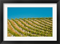 Framed Rows Of Young Vines