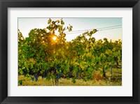 Framed Sun Burst In A Vineyard