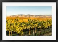 Framed Blue Mountains Overlook A Vineyard, Washington State