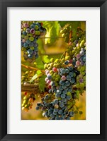 Framed Cabernet Franc Block In Harvest
