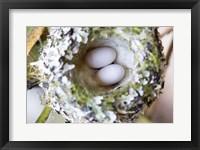 Framed Rufous Hummingbird Nest With Eggs