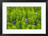 Framed Horsetail, Wild Hyacinth, And Grays Harbor