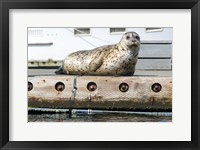 Framed Harbor Seal  Out On A Dock
