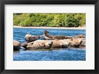 Framed Harbor Seal Gathering At Liberty Bay