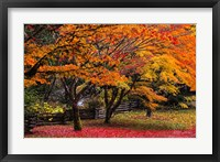 Framed Red Vine Maple In Full Autumn Glory