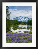 Framed Lupine Flowers With The Teton Mountains In The Background