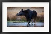 Framed Moose Eating Watercress In A Pond