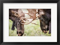 Framed Close-Up Of Two Bull Moose Locking Horns