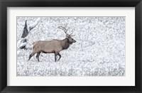 Framed Bull Elk Walks In The Snow