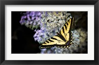 Framed Western Tiger Swallowtail Butterfly On A Lilac Bush