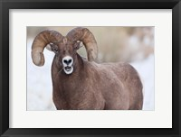 Framed Bighorn Sheep With Grass In His Mouth