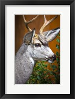 Framed Close-Up Of A Mule Deer