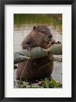 Framed North American Beaver Gnawing Through An Aspen