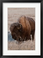 Framed American Bison On A Frosty Morning