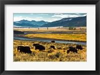Framed Bison Herd Feeding, Lamar River Valley, Yellowstone National Park