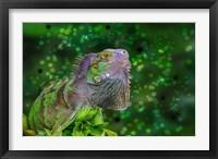 Framed Green Iguana