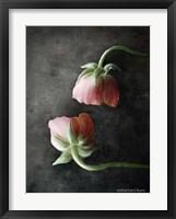 Framed Contemporary Floral Pink Ranunculus