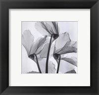 Framed Cyclamen Study No.1