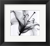 Lily Muscadet Framed Print