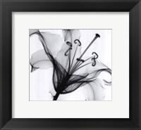 Framed Lily Muscadet