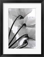 Framed Cyclamen Study