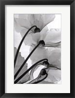 Cyclamen Study Framed Print