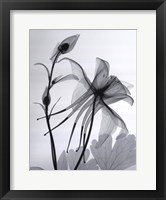 Framed Columbine No.2