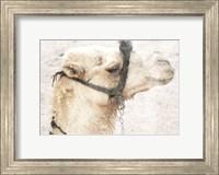 Framed Camel 1