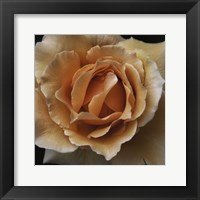 Framed Rose 1