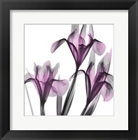 Framed Dazzling Iris
