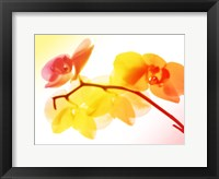 Framed Sunny Electric Orchids