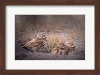 Framed Burrowing Owl