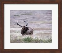 Framed Bull Elk in Montana