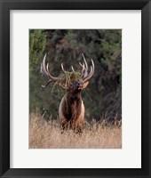Framed Bull Elk in Montana III